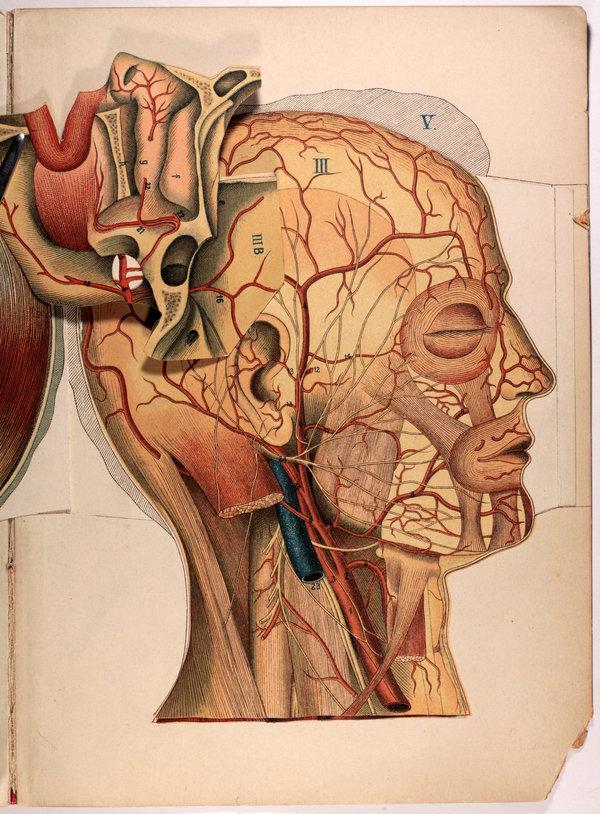 Retrolibros: Anatomia del cuello y la cabeza humana – Dr. Schmidt ...
